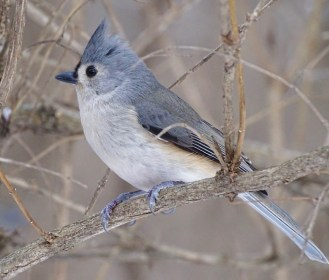Tufted Titmouse - Mendon Ponds - © Candace Giles - Dec 21, 2016
